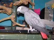 schöner afrikanischer grauer Papagei