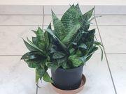 Zimmerpflanze Sansevieria Bogenhanf