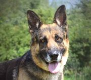 BUSTER Schäferhund Mischling - aktiv und