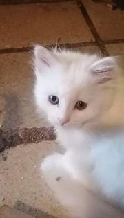 Rassekatzen Mix Kitten jetzt abgabeberei