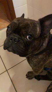 Französische Bulldogge 2 Jahre Kastriert