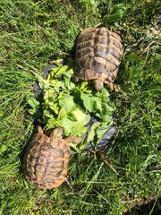 Zwei griechische Landschildkröten über 10