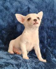 Reinrassiger Chihuahua Rüde kurzhaar