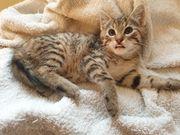 Sehr süße Katzenbabys Tiger 9