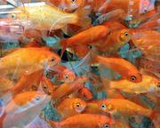 Goldfische 20 St ca 4 -