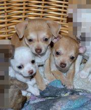 KH Chihuahua süßen Welpen