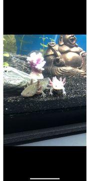 Axolotl 2 Stück