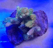 Meerwasser Acropora Millepora Mix