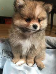 Pomeranian Zwergspitz Welpen Teddy BOO