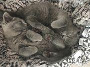 2 BKH Kitten Katzen Baby