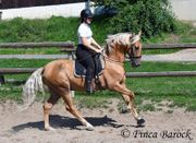 Andalusier Wallach Palomino 13 Jahre
