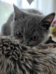 Bkh Kätzchen BKH Kitten erbliche