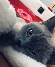 BKH Erwachsene Katze
