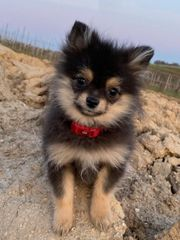 Pomeranian Mini Black Tan