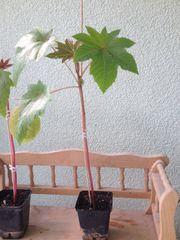 Rizinus Wunderbaum Christuspalme - Pflanzen im