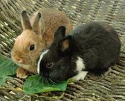 Zuckersüßes Minizwerg Baby Paar sucht