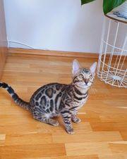 Bengal Kitten Kater mit Stammbaum