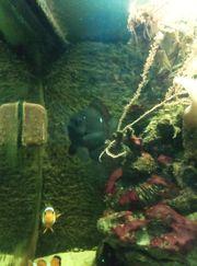 Preußen Dreipunktfische Meerwasser