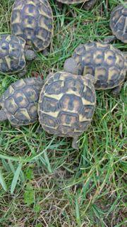 10 griechische Landschildkröten Schildkröten 2019