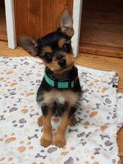 Chihuahua Mix Hundewelpe