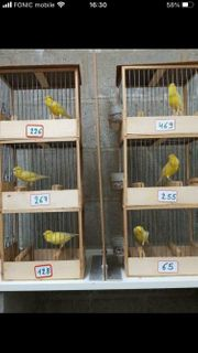 Belgische Wasserschläger - Kanarienvögel - Gesangskanarien