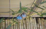 Prachtfinken Bengalus Schmetterlingsfinken 2020