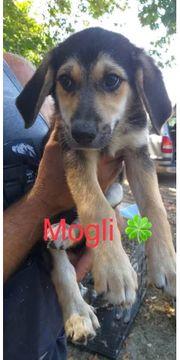 Welpe Mogli sucht ein Zuhause