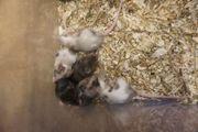 Farbmäuse Schecken Mäuse
