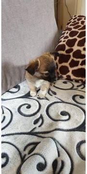 Chihuahua Welpen Hündin zu verkaufen
