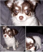 Chihuahua LH Welpen