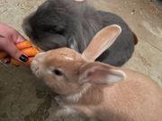 Kaninchen Paar