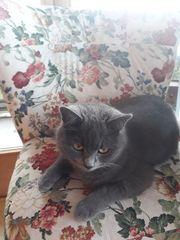 Katze Wilma in Fraxern vermisst