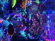 Lebendgestein echte Reef Rocks