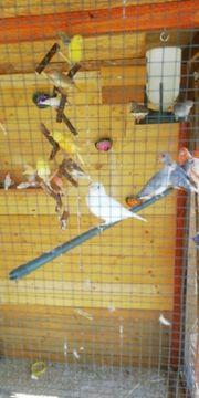 kanarien vögel zu verkaufen