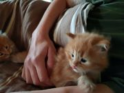 Norwegische Waldkatzen kitten Kater