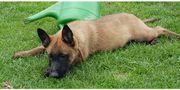 Belgische Schäferhund Welpen