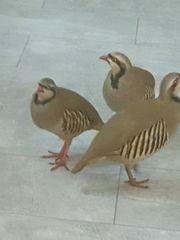 rebhühner steinhühner Keklik