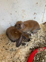Zwergkaninchen Rex Kaninchen Hase Baby