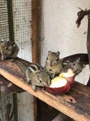 Junge handzahme chinesische Baumstreifeneichhörnchen