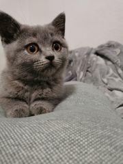 Britisch Kurzhaar Mädchen Babykatze bkh
