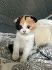 BKH Kätzchen ab sofort Abgabe