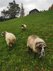 Schafe für Hobbyzucht