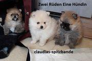 Wunderschöne Pomeranian Zwergspitz Welpen aus