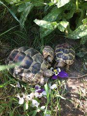 Maurische Landschildkrötenjungtiere 2018