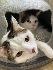 Katzen Main coon Mix