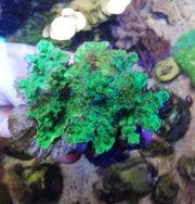 Meerwasser Hydnophora LPS Steinkoralle