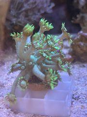 Goniopora Alveopora Korallen Ableger
