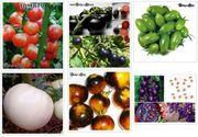 10 Tomatensamen versch Farben Gemüse
