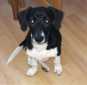 Jack Russel Mix in liebevolle