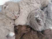 4 süße BKH Kitten Britisch